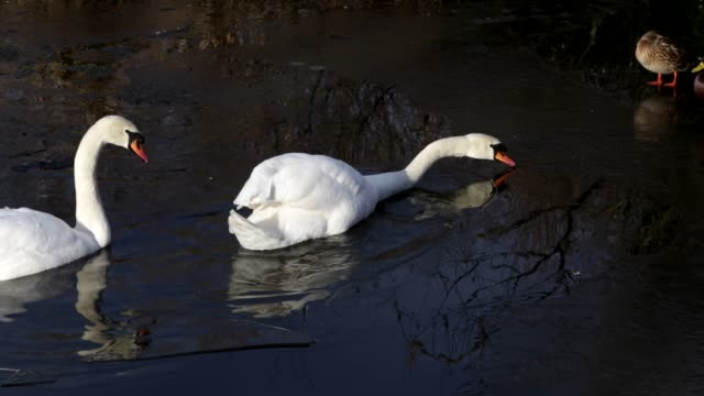 Four mute swans breaking the ice on Mitcham Pond in Surrey HD video video