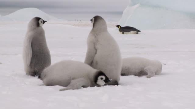 Four penguin chicks eating snow video