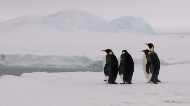 four penguins waiting and watching video