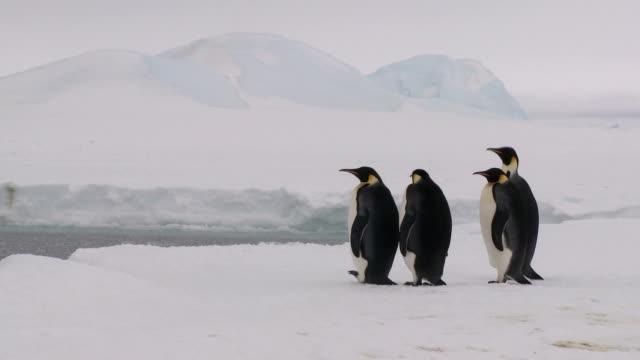 cztery penguins oczekiwania i oglądać - pingwin filmów i materiałów b-roll