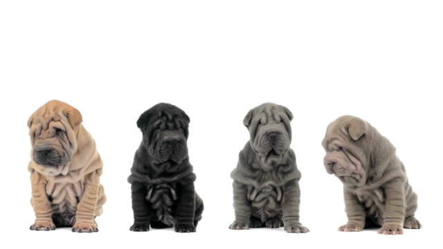 Four shar pei puppies sitting and looking around video