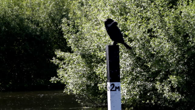 HD video cormorant Phalacrocorax carbo four clips video