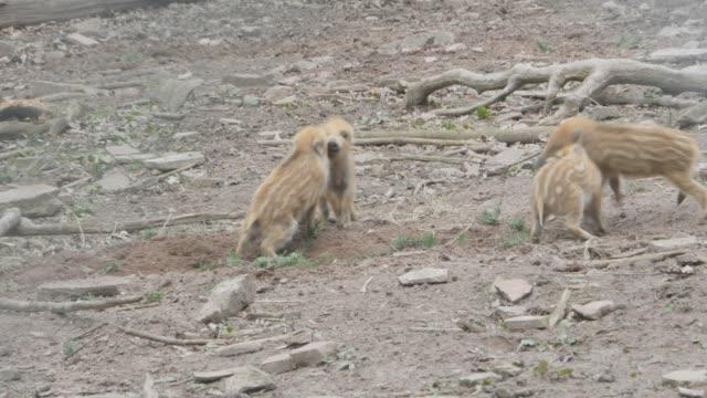 4つの野生の子豚の戦い - 子豚点の映像素材/bロール