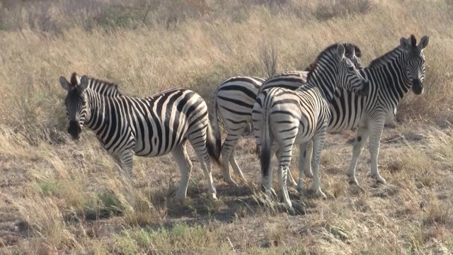 Four Zebras Standing in Dry Grass in Makgadikgadi Pans Four Zebras Standing in Dry Grass in the Sowa Pan, Makgadikgadi Pans National Park, Botswana, Africa makgadikgadi pans national park stock videos & royalty-free footage