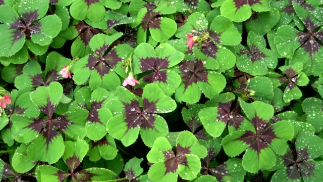 Best Four Leaf Clover Stock Videos and Royalty-Free Footage