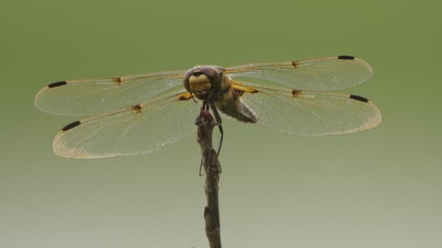 four-spotted chaser (libellula quadrimaculata) - khingan nature reserve - libellulidae video stock e b–roll