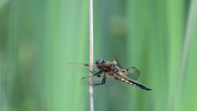 four-spotted chaser (libellula quadrimaculata) resting on a branch swaying in the wind. shallow depth of field, colorful background. - libellulidae video stock e b–roll