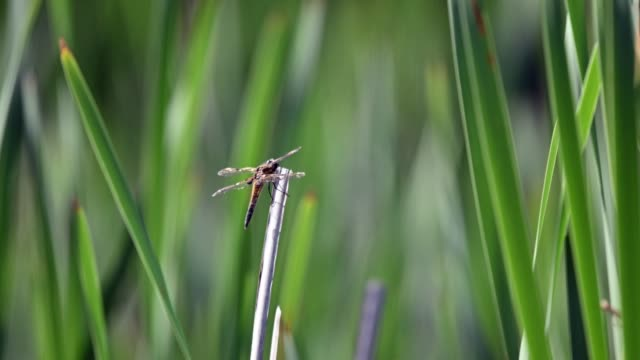 four-spotted chaser (libellula quadrimaculata) resting on a reeds swaying in the strong wind. shallow depth of field, colorful green background. - libellulidae video stock e b–roll