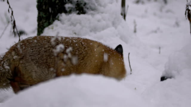 Fox and winter video