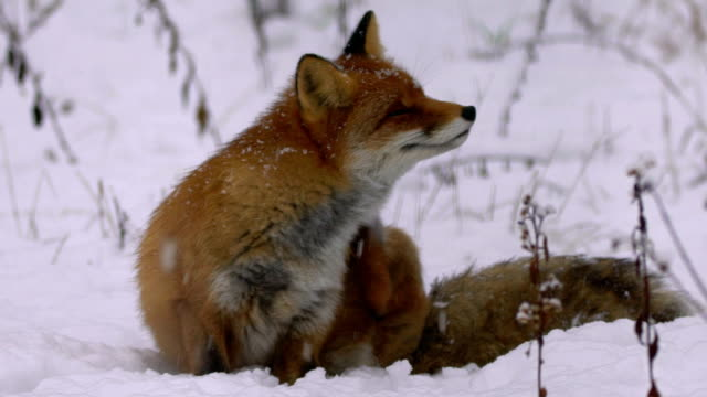 Fox und winter – Video
