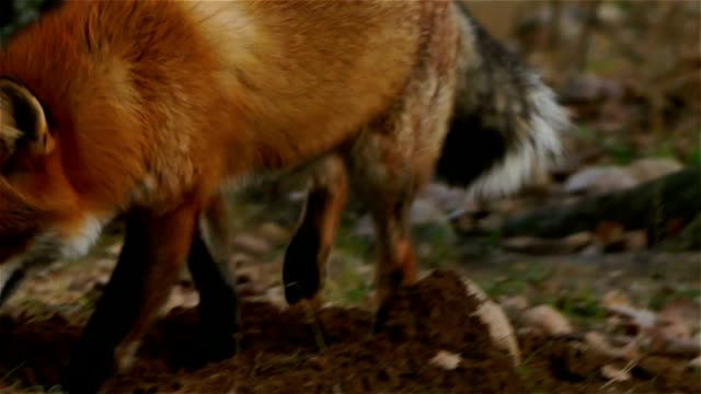 Fox ein Loch – Video