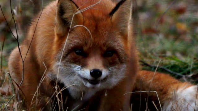 Fox eats – Video