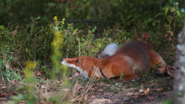 Fox fighting