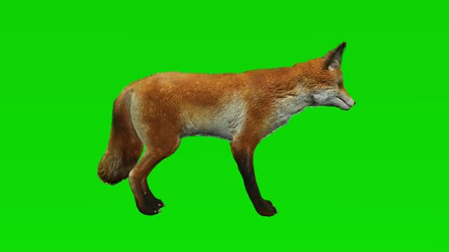 Fox idle on green screen. The concept of animal, wildlife, games, back to school, 3d animation, short video, film, cartoon, organic, chroma key, character animation, design element, loopable