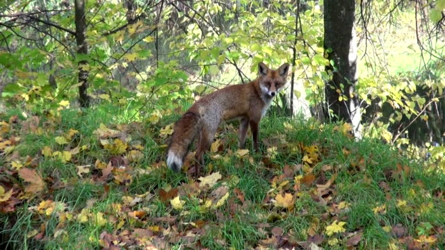 fox in  autumn forest