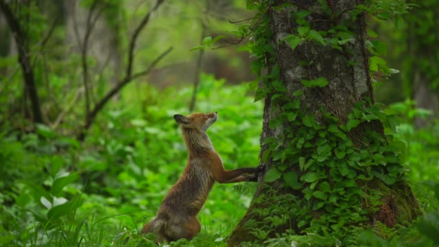 Fox in Kunashir Island (Kuril Islands)
