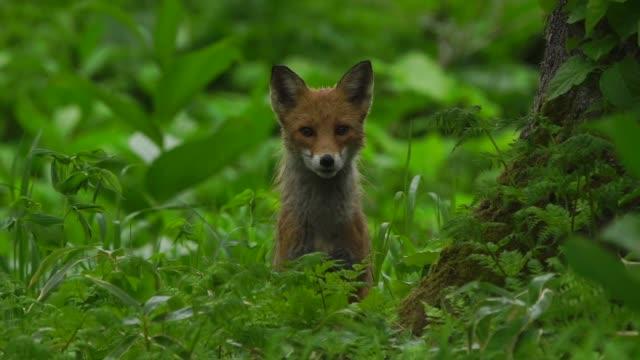 fox in kunashir island (kuril islands) - fuchs stock-videos und b-roll-filmmaterial
