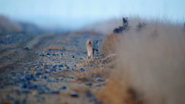 Fox in steppe