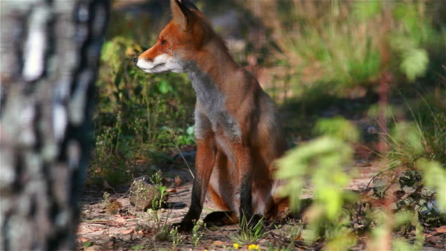 Fox in summer video