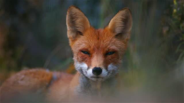 fox in summer - animale video stock e b–roll
