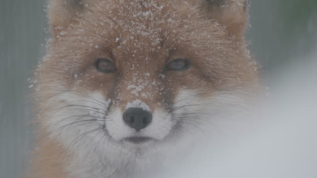 fuchs im winter - fuchs stock-videos und b-roll-filmmaterial