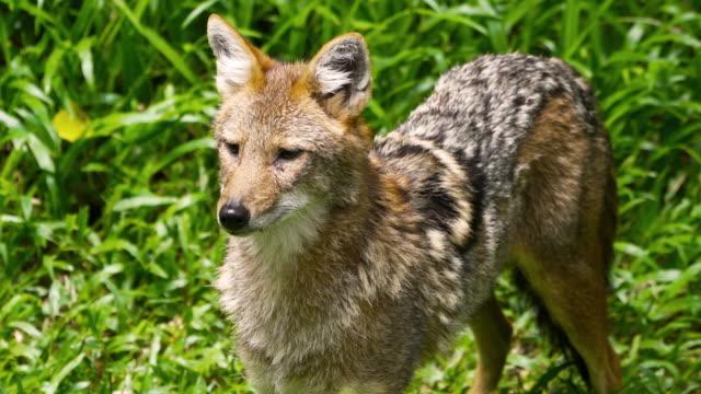 4K CU Fox on grass