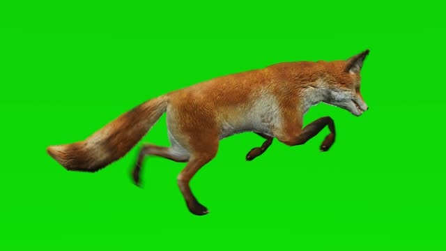 Fox running on green screen. The concept of animal, wildlife, games, back to school, 3d animation, short video, film, cartoon, organic, chroma key, character animation, design element, loopable