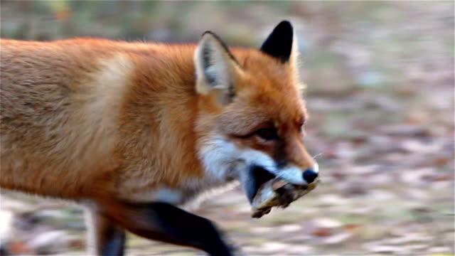 Fox runs with prey video
