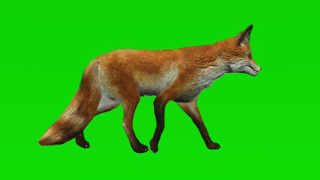 Fox walking on green screen. The concept of animal, wildlife, games, back to school, 3d animation, short video, film, cartoon, organic, chroma key, character animation, design element, loopable