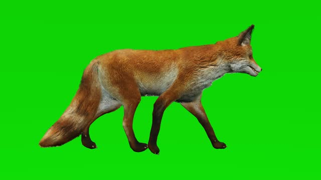 Fox walking slow motion animation on green screen. The concept of animal, wildlife, games, back to school, 3d animation, short video, film, cartoon, organic, chroma key, character animation, design element, loopable