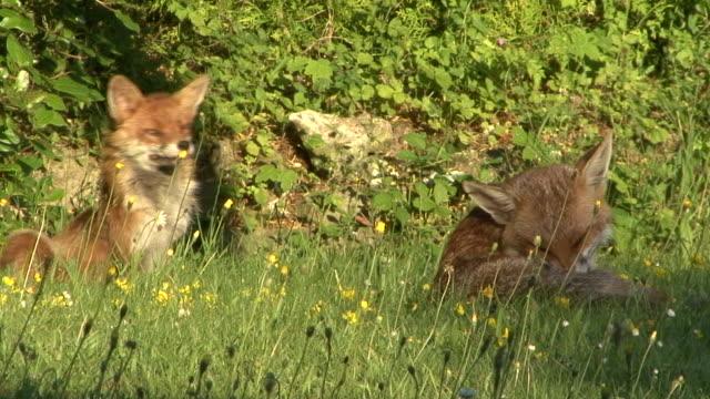 foxes グルーミング - キツネ点の映像素材/bロール