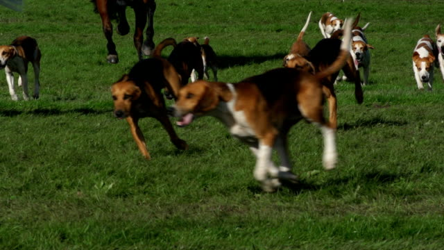 Foxhound Dogs and Horses -Super slow motion running Stock HD video clip footage of a group of Foxhound dogs, along with some horse, running on the grass. Filmed at 200fps Super Slow motion. Outdoors hound stock videos & royalty-free footage