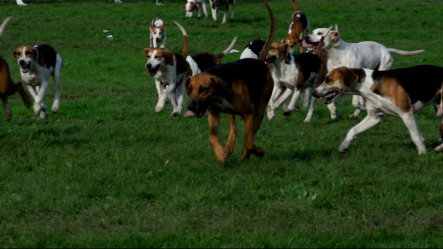 Foxhound Dogs running in Super slow motion