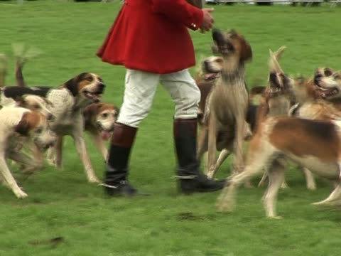 Foxhound Hunting 2 A group of Foxhounds together with the Master fox hunting - Tripod hound stock videos & royalty-free footage