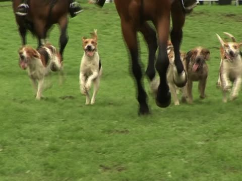 Foxhounds hunting 1 Some foxhounds on a fox hunt - Tripod hound stock videos & royalty-free footage