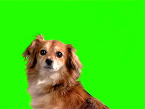foxy hund - wachsamkeit stock-videos und b-roll-filmmaterial