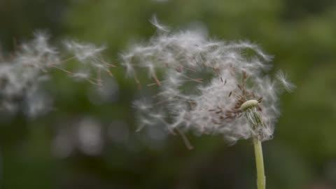 vídeos y material grabado en eventos de stock de lenta: flor de diente de león blanco frágil obtiene soplado lejos por el viento de primavera. - viento