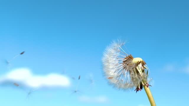 クローズアップ:脆弱な白いタンポポの花の種は澄んだ青空で飛び立ちます。 - ふわふわ点の映像素材/bロール