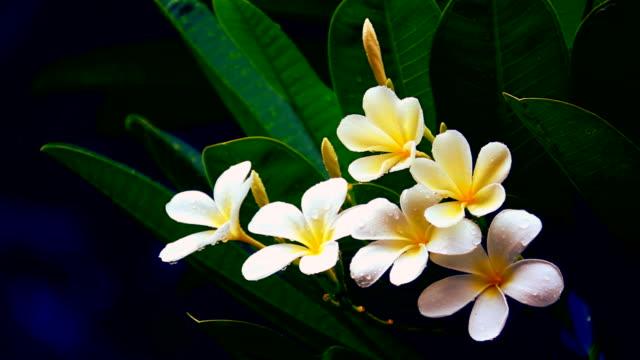 frangipani blume oder plumeria blume blumenstrauß auf ast baum am regen und wasser tropfen auf blatt - jasmin stock-videos und b-roll-filmmaterial