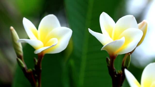 frangipani blume - jasmin stock-videos und b-roll-filmmaterial