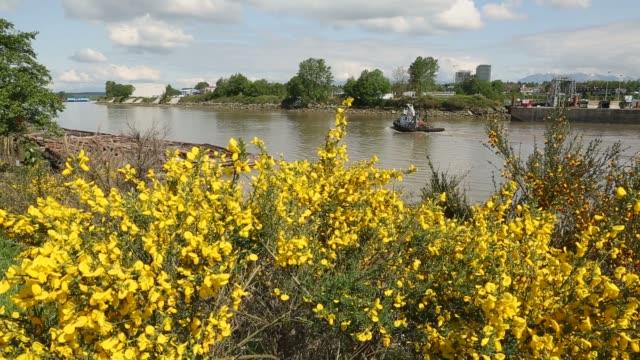 fiume fraser cytisus scoparius e rimorchiatore - fiume fraser video stock e b–roll