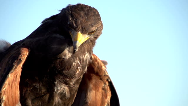 stockvideo's en b-roll-footage met free as a eagle - arend