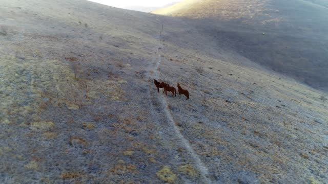 free horses running in a mountain field, aerial view, drone's flight over herd of horses in the wild wth a majestic sunrise - мустанг стоковые видео и кадры b-roll