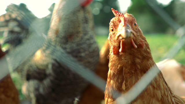 Free Range Chicken Looking at Camera Behind the Wire mesh - 4K and Audio available