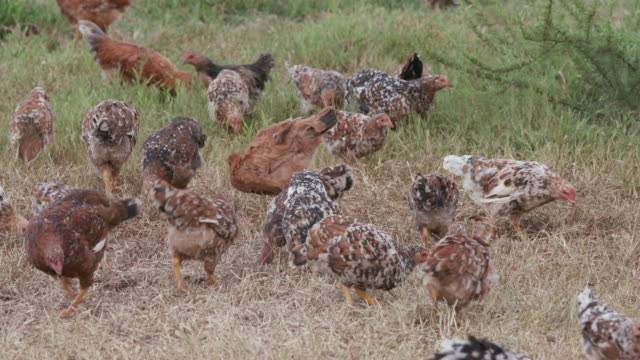 Free range chickens foraging for food video