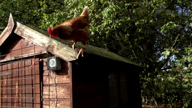 Free Range Chickens In A Yard video