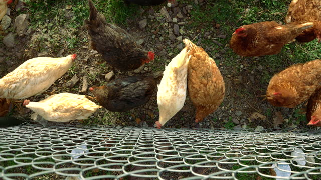 Free Range Chickens near Wire Netting On The Grass - 4K High Angle View