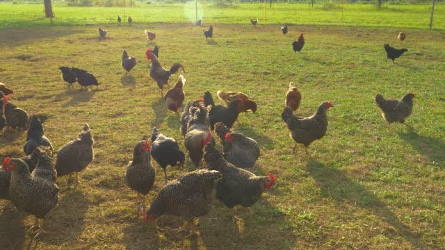 vídeos de stock e filmes b-roll de lens flare: free range chickens peck grass while roaming around enclosed pasture - gado animal doméstico