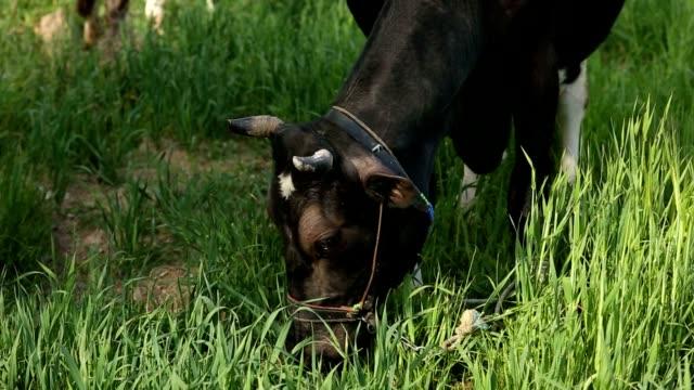 free range cow eating grasses - white background стоковые видео и кадры b-roll