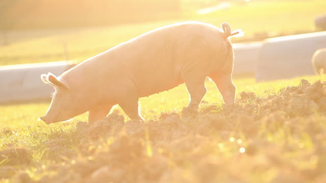 stockvideo's en b-roll-footage met scharrelvarkens - pig farm